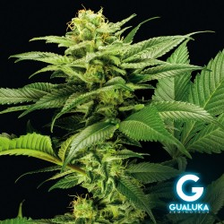 Gualuka - Bluebblegum