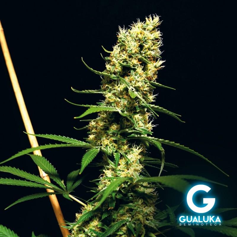 Gualuka - DC 10