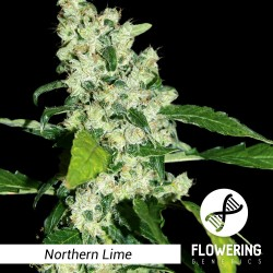 Flowering Genetics - Northern Lime