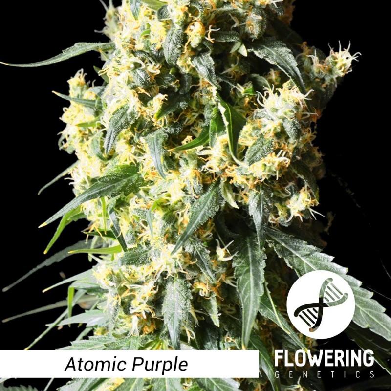 Flowering Genetics - Atomic Purple