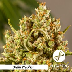 Flowering Genetics - Brain Washer