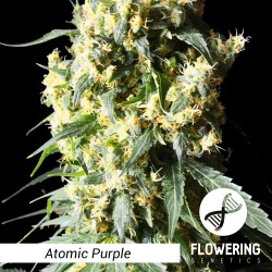 Flowering Genetics - Atomic Purple